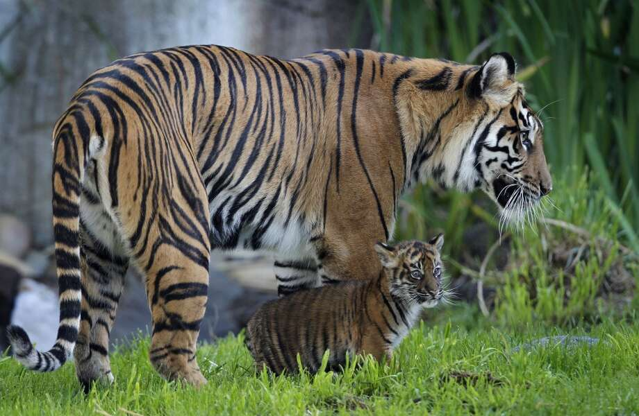 A 2-month-old Sumatran tiger cub born at the San Francisco Zoo explores her outdoor enclosure with her mother Leanne, in San Francisco, Calif. on Thursday, April 11, 2013. The public can get its first glimpse of the still unnamed female cub venturing outside of the Lion House beginning Friday.