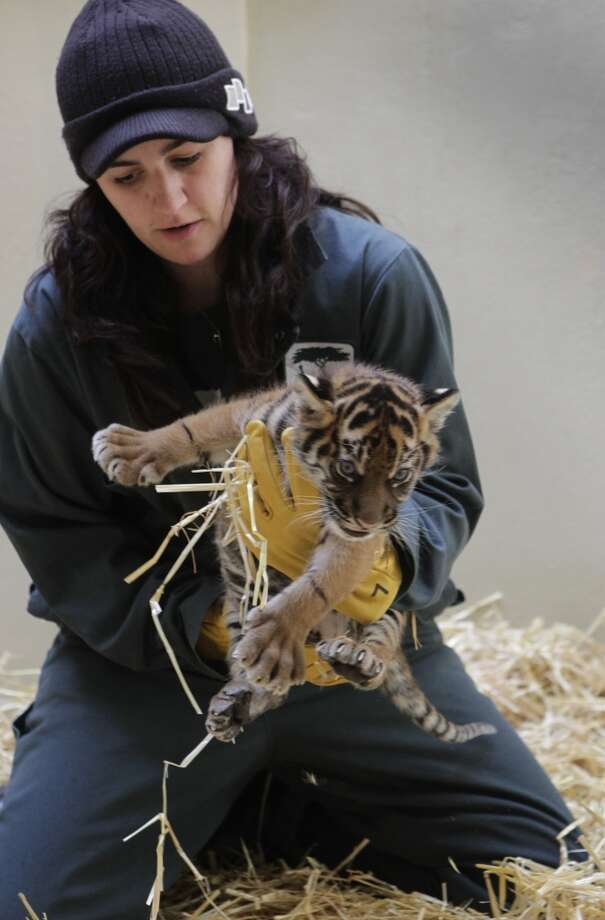 Amy Corso tends to a Sumatran tiger cub at the San Francisco Zoo in San Francisco, Calif. on Friday, March 22, 2013. The yet-to-be-named 5-week-old female cub makes her public debut Saturday with her mother, Leanne.