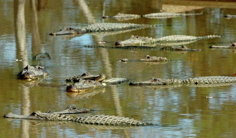 Due to rain and flooding, the number of alligators sitings has nearly doubled since this time last year.   Enterprise file photo Photo: Mark M. Hancock, Staff Photojournalist / The Beaumont Enterprise