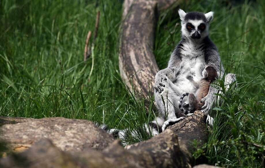 BRISTOL, ENGLAND - MAY 22:  Newborn ring-tailed lemur Rascal is carried by its mother Roxy at Bristol Zoo Gardens on May 22, 2013 in Bristol, England. The two-week old is one of a number of baby animals, birds and reptiles that have been born at Bristol Zoo Gardens now that spring has finally sprung.  (Photo by Matt Cardy/Getty Images)  *** BESTPIX *** Photo: Matt Cardy, Getty Images