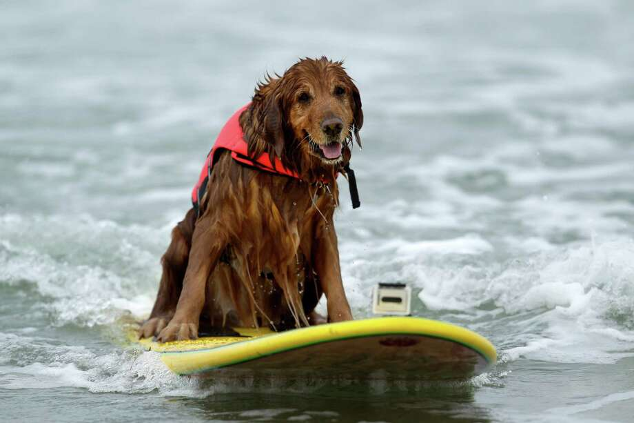 FILE - This June 8, 2012 file photo shows King, a nine-year-old golden retriever rides a wave while surfing in the Incredible Dog Challenge dog surfing competition in San Diego. There are about 95,000 miles of shoreline around the United States and among the most treasured by dog lovers are those where you can unleash the beast. Photo: Gregory Bull