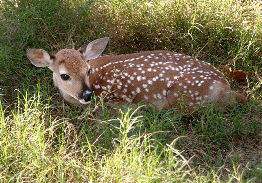 Cattle aren't the only animals scientists have cloned. Dewey the deer, cloned by researchers at Texas A&M University on May 23, 2003.Click through the rest of the slideshow to see what other animals have been cloned by scientists.
