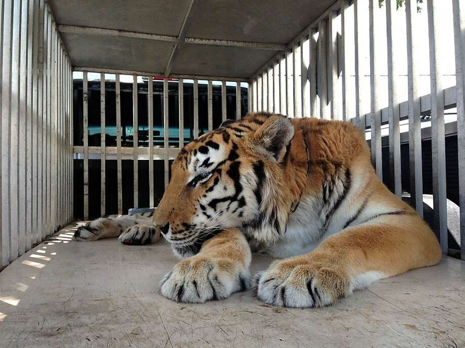 No more tummy ache: Ty, a tiger being cared for by Wildlife Rescue and Rehabilitation in Seminole, 
