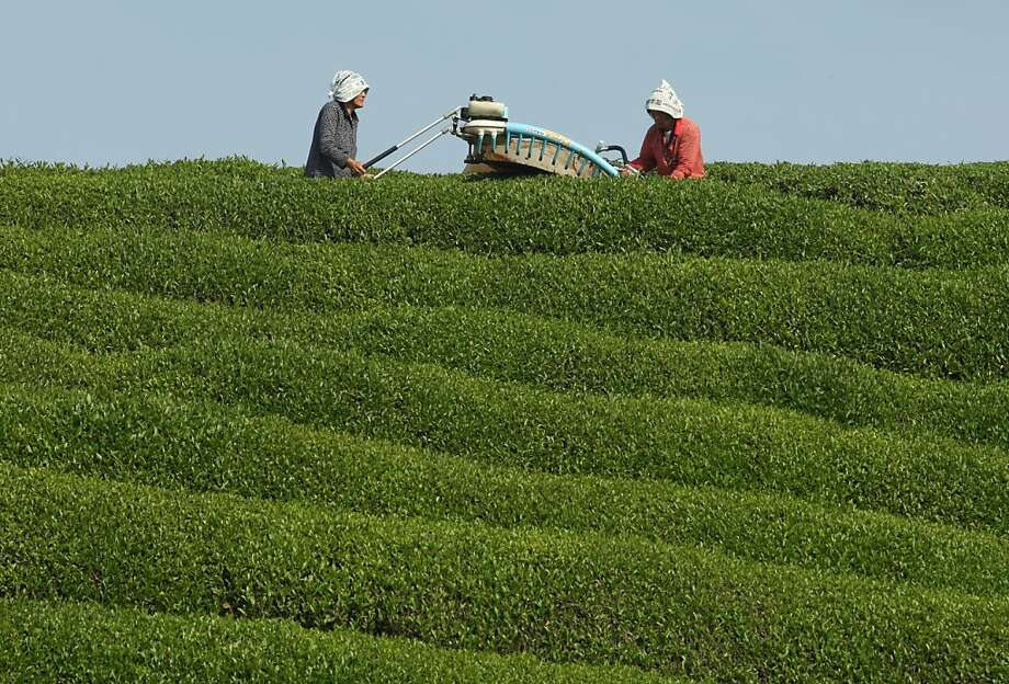 Tea time:Eighty-year-old Yaeko Asada (left) and Shigeharu Asada harvest green tea 