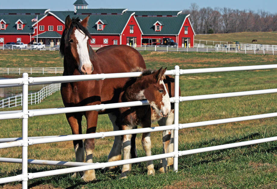 About 40 baby Clydesdales have been or will be born this season at Warm Springs Ranch in Missouri.