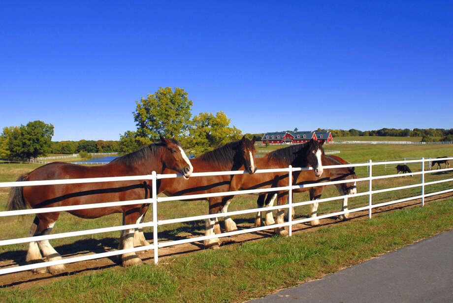 The Budweiser Clydesdales can roam 10 pastures at the Warm Springs Ranch breeding farm.
