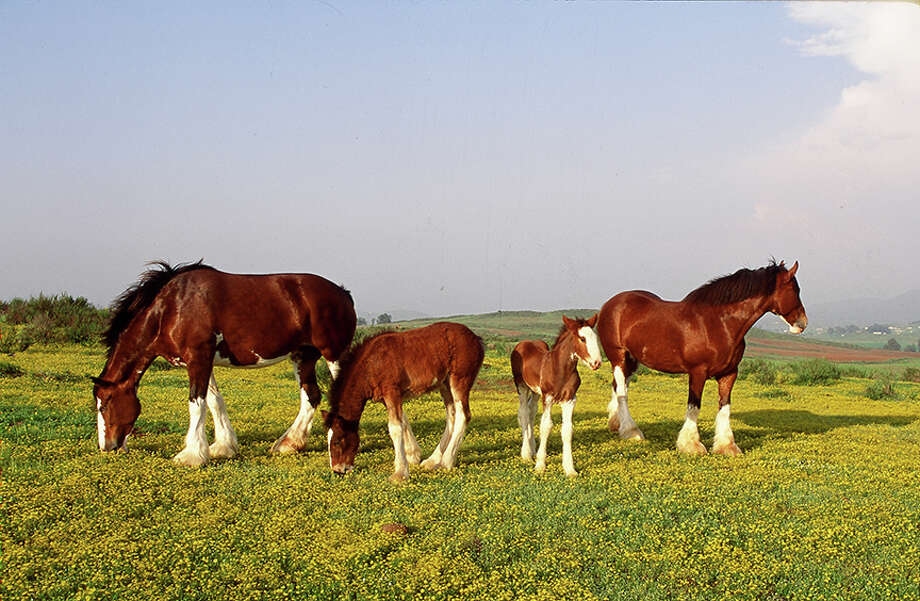 With 10 pastures, the Clydesdales have plenty of room to roam at Warm Springs Ranch.