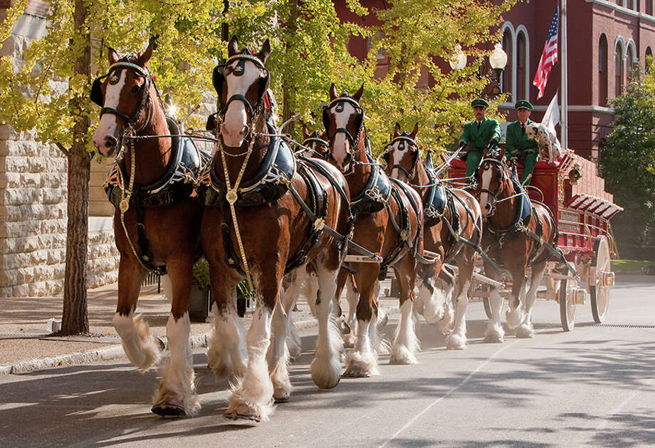 Clydesdales who join Budweiser's traveling hitches must stand 72 inches at the shoulder and have a bay coat, four white socks, a white blaze and a black mane and tail Photo: Rick Meoli / All images copyright Meoli Studio ©2008