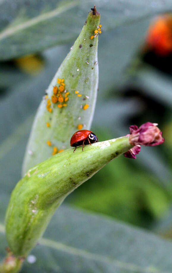 Predatory insects such as ladybugs eat aphids. Spraying pesticide will eradicate both good bugs and bad bugs, so many gardeners allow some aphids to stay on plants. Photo: Express-News File Photo
