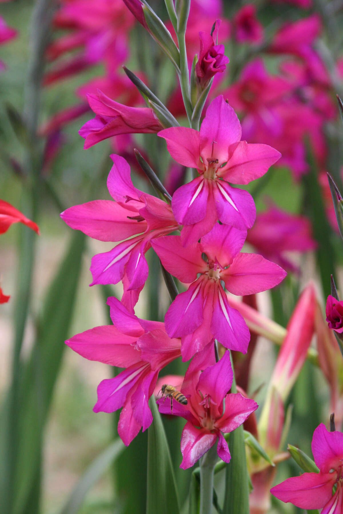 Byzantine gladiola will multiply rapidly in the landscape.