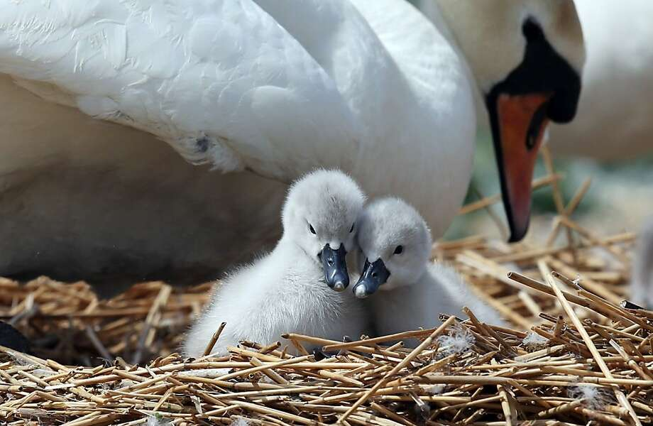 It may seem a pair-a-ducks, but mute swans like these two cygnets at Britain's Abbotsbury Swannery aren't really mute. They're just less vocal than other swans. Photo: Matt Cardy, Getty Images