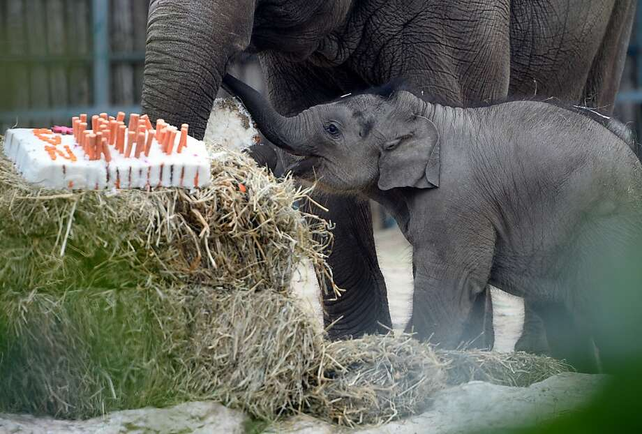 Make a a wish and blow out the carrots:Angele's baby celebrates its 100th-day birthday with a rice, carrot and beetroot cake at Budapest Zoo and Botanic Garden. Photo: Attila Kisbenedek, AFP/Getty Images