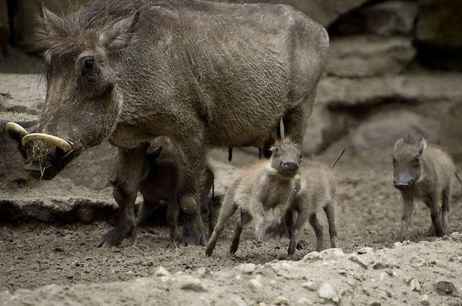 Spotlighting the hogs: Ma warthog's four little gruntlets explore their enclosure for the first time before a public audience at the Berlin Zoo. Photo: Odd Andersen, AFP/Getty Images