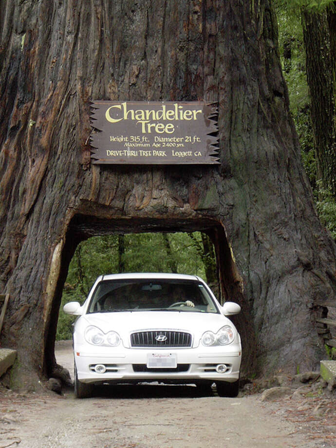 What's in the trunk? You are:Driving through the 315-foot-tall Chandelier Tree, a  roadside attraction since the 1930s, has led many to take a  detour to Leggett, a hamlet 175 miles north of San Francisco off Highway 101 in Mendocino County.