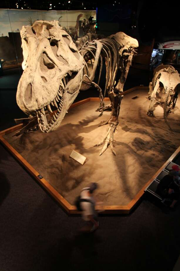 A hulking T.Rex skeleton towers over a visitor at the Royal Tyrrell Museum.