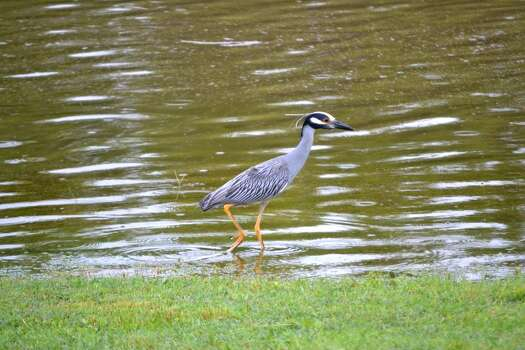 Great blue heron wading on Olmos Basin golf course. Photo: Picasa, Glenda Wolin