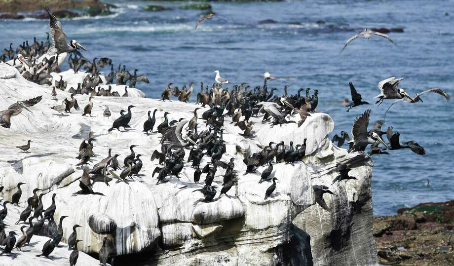 In this April 2, 2013 file photo, Pelicans and cormorants gather on the cliffs above the cove in the affluent La Jolla section of San Diego,  San Diego officials have announced a plan to rid the scenic beaches of La Jolla of stinky bird poop smell after declaring the excrement a health hazard. Non-pathogenic bacteria will be used to neutralize the odor from bird guano. Biologists say the odor is a sign that environmental protections put in place over the past few decades have brought back endangered species, like cormorants and brown pelicans. Photo: AP