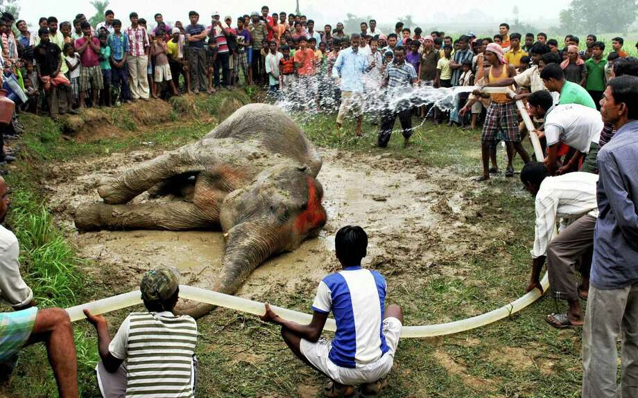 Villagers and forest officials sprinkle water on an elephant who had  fallen ill reportedly due to intense heat in the Bankura district, in the eastern Indian state of West Bengal, Friday, May 24, 2013. Veterinarians also suspect that an elephant calf that died last month in the same area was a victim of heatstroke, according to news reports. Photo: AP