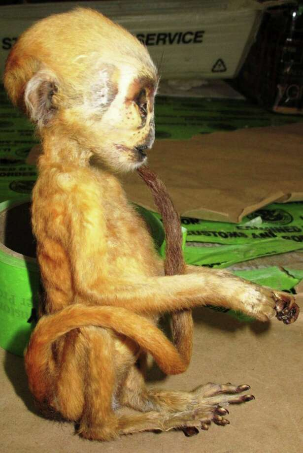 This photo released Monday, May 20, 2013, by U.S. Customs & Border Protection, shows a mummified primate known as a macaque, about six inches high, one of several contraband items seized by the agency at Los Angeles International Airport between May 6 and 10.  Officials also seized elephant meat  and hundreds of handbags made from the skin of snakes, lizards and crocodiles.  The tiny dead macaque primate from Indonesia had been declared as a gift and was addressed to North Port, Fla. Photo: AP
