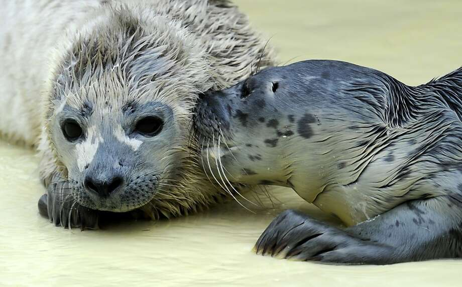 My sweet baboo!Angie M. (right) surprises Peer S. with a kiss, totally embarrassing him in front of the other seal pups at the seal station in Friedrichskoog, Germany. Photo: Carsten Rehder, AFP/Getty Images