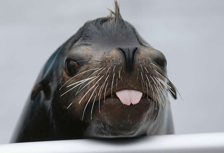 Do all sea lions have notched tongues, or just Osborne? Considering that he sports a fauxhawk, it could be a fashion choice. (Re-opening of the Wildlife Conservation Society New York Aquarium in Coney Island, N.Y.) Photo: Mario Tama, Getty Images