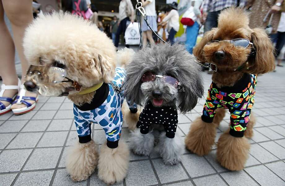 Not to mention pajamas: For Pu, Peach and Poko, the future's so bright, they gotta wear shades. (Tokyo dog show.) Photo: Shizuo Kambayashi, Associated Press