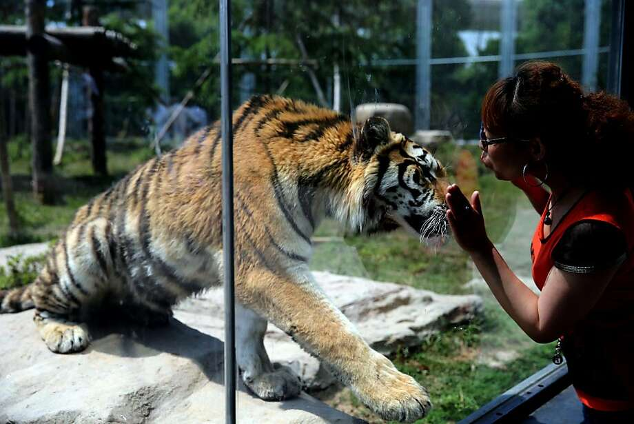 Kiss, but don't touch: Bussing a Bengal is best done through the glass at the Shanghai Zoo. Photo: Stringer, AFP/Getty Images