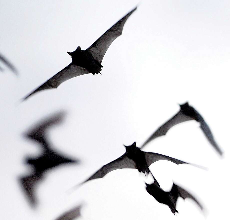 A reader says he doubts the presence of Mexican free-tailed bats  will keep a subdivision from being built near Bracken Cave.  Photo: Billy Calzada, San Antonio Express-News / San Antonio Express-News
