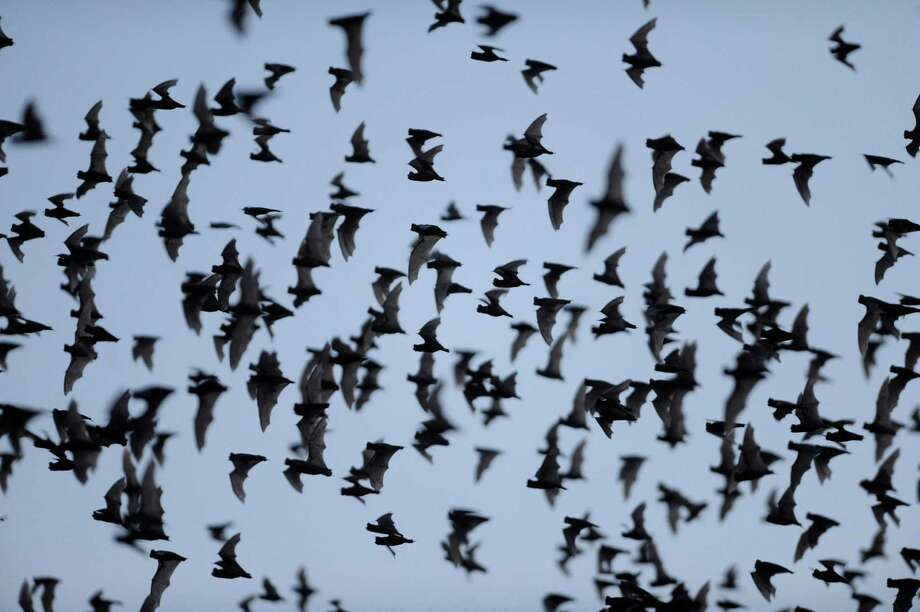Millions of Mexican free-tailed bats emerge from the Bracken Bat Cave on Saturday, May 18, 2013. Photo: Billy Calzada, San Antonio Express-News / San Antonio Express-News