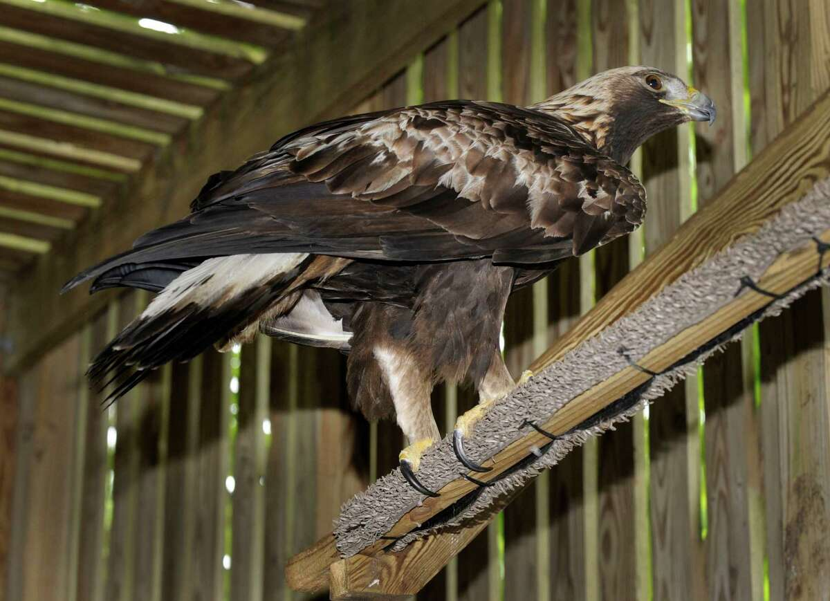 This is an an immature golden eagle that has been rehabilitated at Green Chimneys in Brewster, N.Y. and will be released Wednesday.