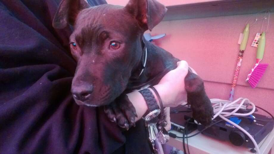 Tiny Dancer, a 2-year-old pit bull mix, was found tied to a tree in Golden Gate Park, beaten and malnourished, on May 18, 2013.