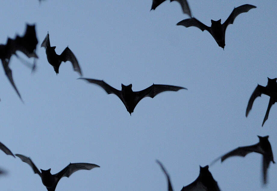 A  reader wonders if the Crescent Hills subdivision will have an impact on the bats that occupy Bracken Cave. Photo: Billy Calzada, San Antonio Express-News / San Antonio Express-News