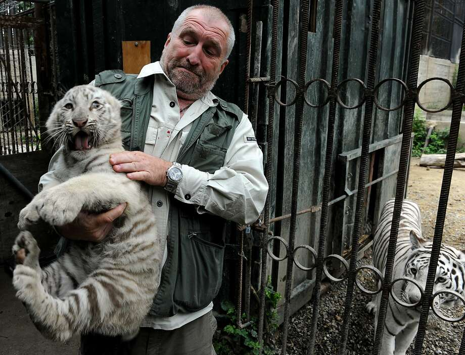 Not really a lap cat: Tbilisi zoo director Zurab Gurielidze contends with an armful of trouble at the zoo in the Georgian capital. The cub is one of three born to white tigress Cameron (right) in March. Photo: Vano Shlamov, AFP/Getty Images