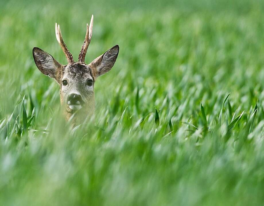 What am I doing here? Well, not eating corn, that's for sure:A photographer   startles a roebuck in a cornfield near Manschnow, Germany. Photo: Patrick Pleul, AFP/Getty Images
