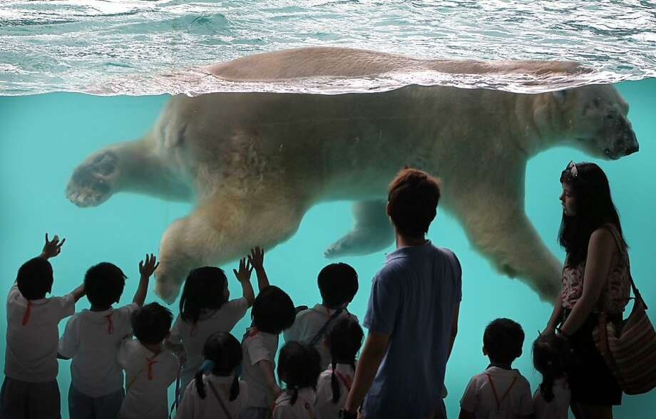 Like an iceberg,most of Inuka's bulk lies under the surface. The first polar bear born in the tropics spends much of his time in his ice block-cooled pool at the Singapore Zoo. Photo: Wong Maye-E, Associated Press