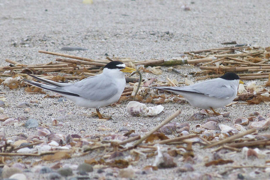 Least terns are especially vulnerable to having there colonies disturbed by people walking their dogs on the beach. Photo: Contributed Photo,  Scott Kruitbosch/Connecticut Au / Connecticut Post Contributed