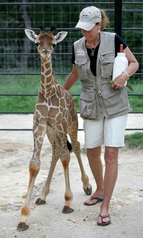 Tiffany Soechting walks with one of the twin giraffes, born at Natural Bridge Wildlife Ranch, to hand feed the young male named Nakato on Wednesday, May 29, 2013. Photo: Bob Owen, San Antonio Express-News / © 2012 San Antonio Express-News