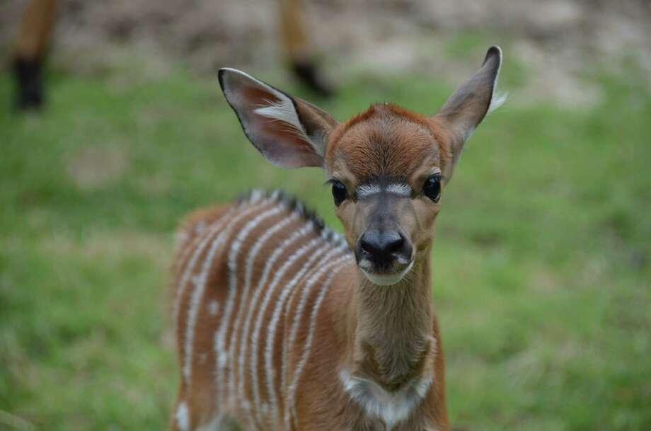 Baby Nayala antelope born on May 21 at the Houston Zoo.