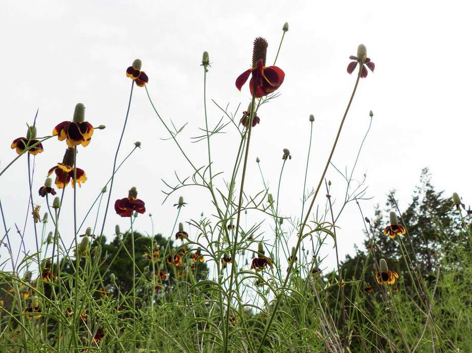 Mexican Hats, or Prairie Coneflowers, grow on Bat Conservation International Property, which hosts the Bracken Bat Cave, on Saturday, May 18, 2013. The cave harbors millions of Mexican free-tailed bats. Photo: Billy Calzada, San Antonio Express-News / San Antonio Express-News