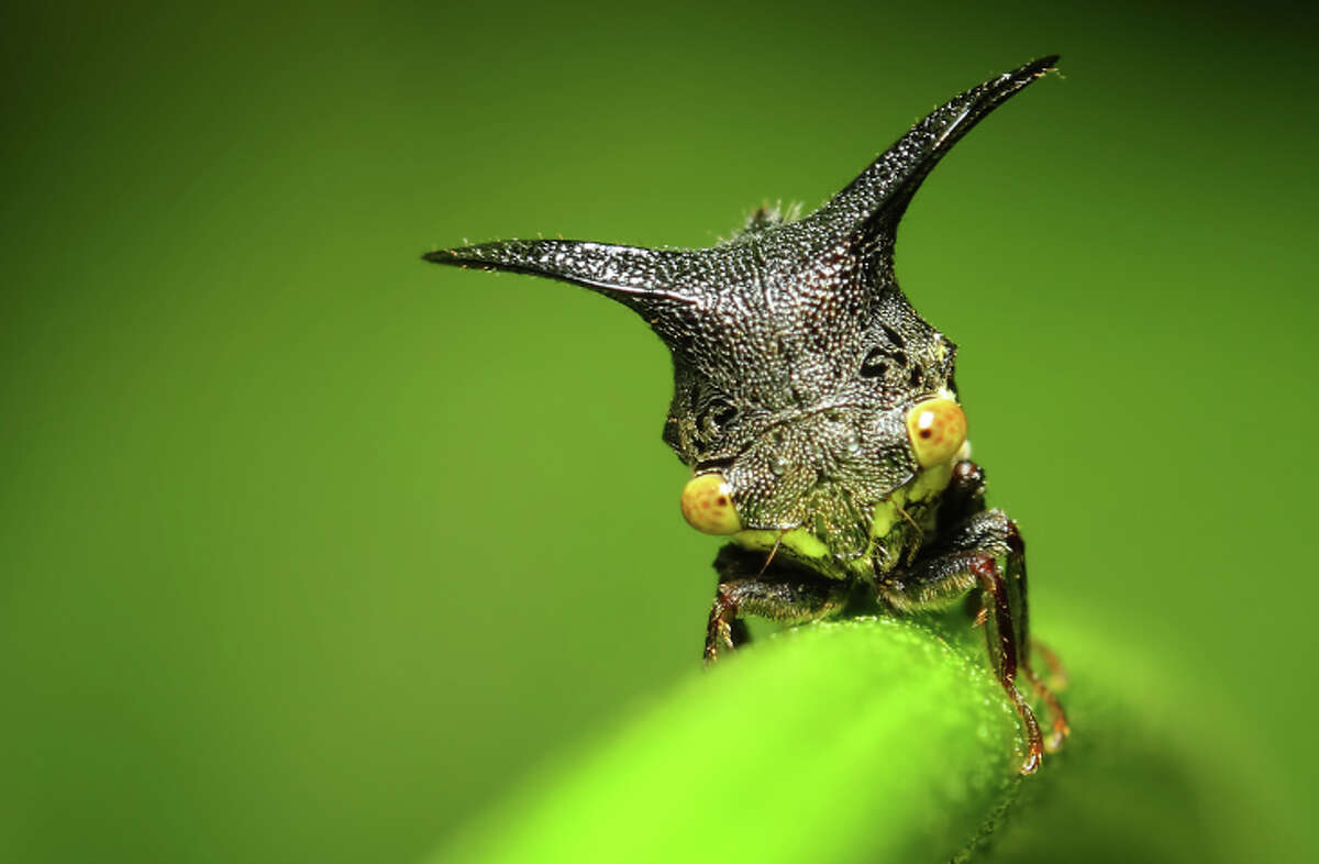 The next cutest and strange creature on Earth is the Treehopper. They come in all shapes and sizes (up to tiny).