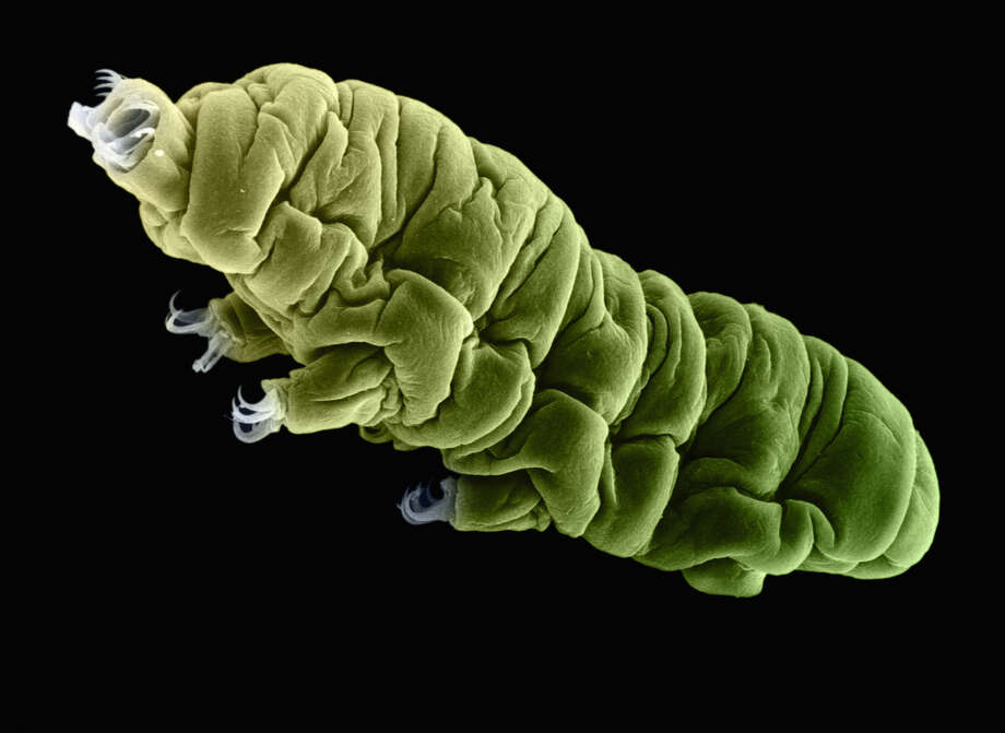 This is a colourised SEM image of a Tardigrade or water bear (phylum Tardigrada); a highly resistant extremophilic animal, capable of inhabiting a vast range of altitudes, depths, salinities and temperature ranges, commonly found on mosses or lichens. It even survived in space. Photo: Science PR, Multiple / (c) Science PR