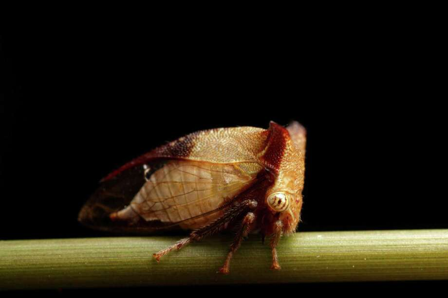 Another of our favorite: the treehopper. Photo: Gustavo Mazzarollo, Multiple / Flickr RM