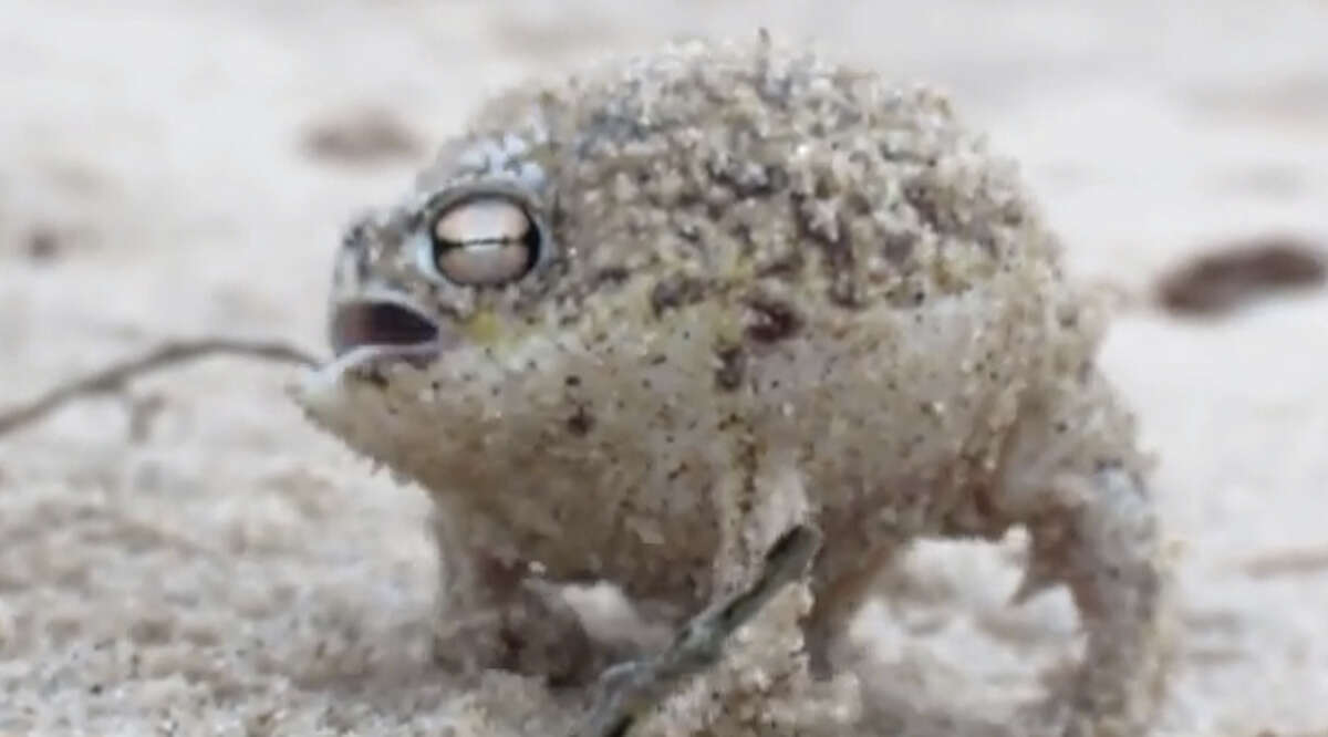 Now for some really weird creatures still alive! The Desert Rain Frog raises eyebrows, especially once you heard the very surprising and super cute croak this dude makes. (You can listen to it in the video at bottom of this story).