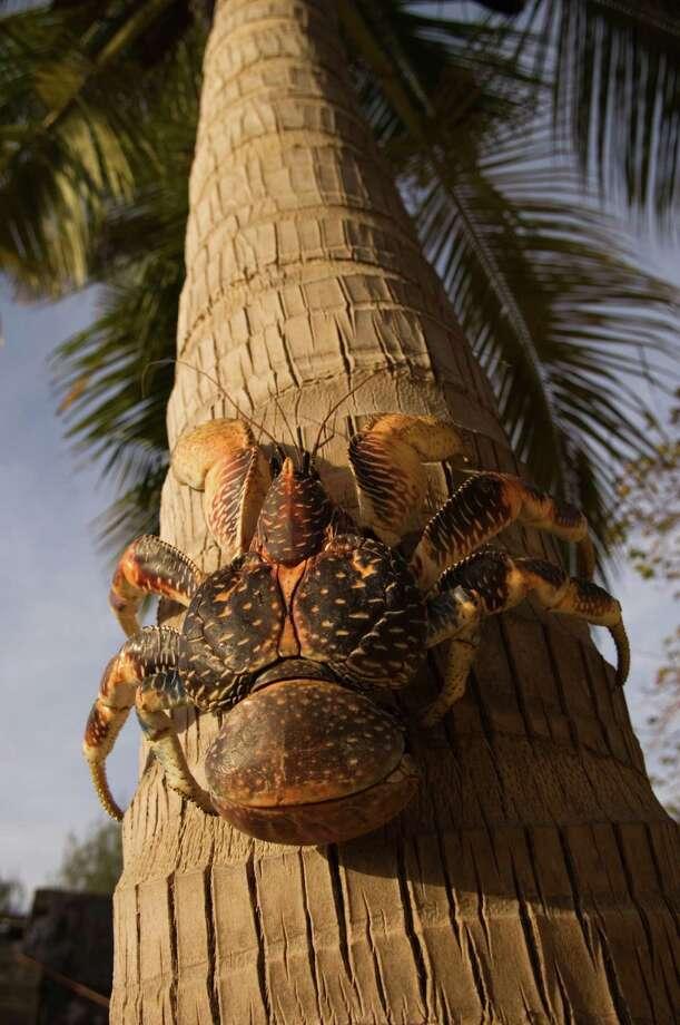 A giant coconut crab (Birgus Latro) Photo: Ariadne Van Zandbergen, Multiple / Lonely Planet Images