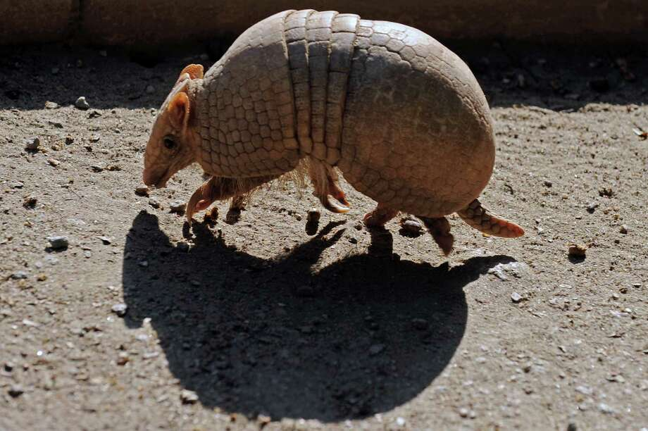 A Brazilian Three banded armadillo ... Photo: VANDERLEI ALMEIDA, Multiple / 2012 AFP