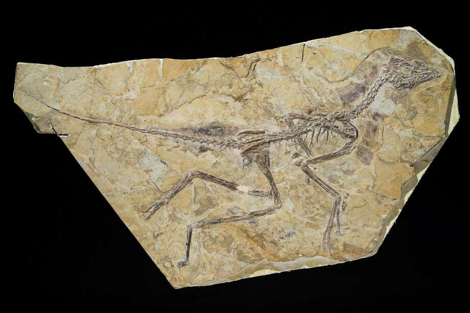 An undated image released by the Royal Belgian Institute of Natural Sciences shows the skeleton of an Archaeopteryx that roamed China during the middle to late Jurassic period. Experts have differed on whether it's a bird or a dinosaur. Photo: Thierry Hubin / Associated Press