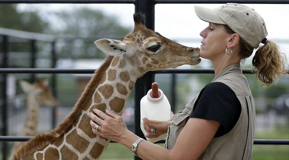 Animal specialist Tiffany Soechting, right, feeds Nakato, left, a three-week old Reticulated giraffe, at the Natural Bridge Wildlife Ranch, Wednesday, May 29, 2013, in New Braunfels, Texas. Nakato and twin sister Wasswa were born May 10. (AP Photo/Eric Gay) Photo: Eric Gay, Associated Press