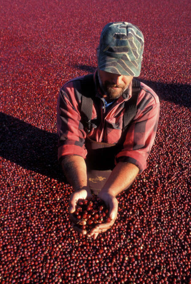 Wisconsin state fruit: Cranberries Photo: Lyle Leduc, Getty Images / (c) Lyle Leduc