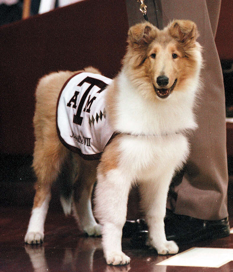 Texas A&M University'e new mascot Reveille VII looks at the crowd during her debut before the start of the basketball game between Texas A&M and Missouri Saturday, Feb. 17, 2001, in College Station, Texas. (AP Photo/Bryan-College Station Eagle/Butch Ireland)   HOUCHRON CAPTION (02/23/2002):  Texas A&M University's mascot Reveille 7 made her debut at a basketball game last year between Texas A&M and Missouri in College Station. Photo: BUTCH IRELAND, MBR / BCS EAGLE
