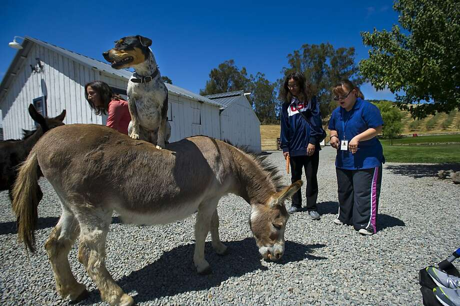 Giddyap, I say! A donkey ride at The White Barn Project at Beaumont Farms, an animal-assisted therapy center in Petaluma, will resume after the donkey finishes eating the driveway. Photo: Dan Evans, Special To The Chronicle